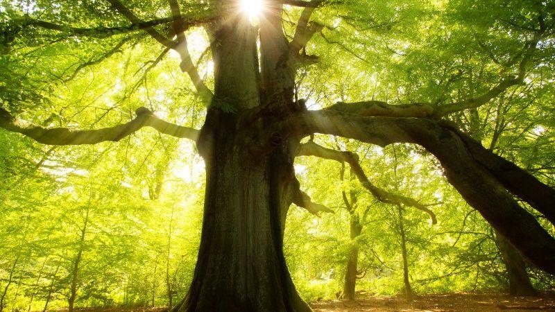 Großer Baum im Wald, Sonne strahlt durch das Blätterdach
