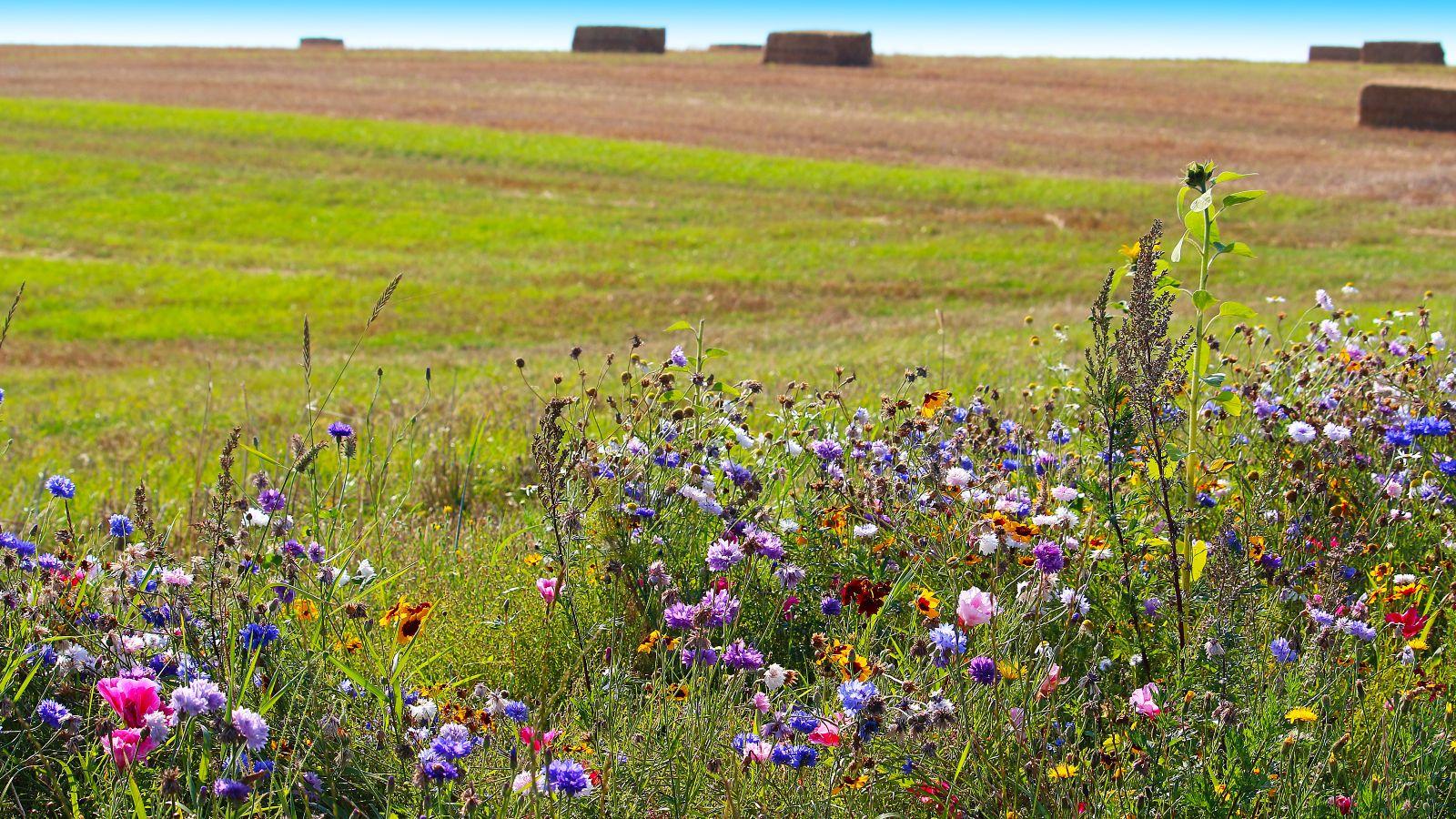 Vor einem abgeernteten Feld mit Strohballen steht eine bunte Wildblumenwiese.