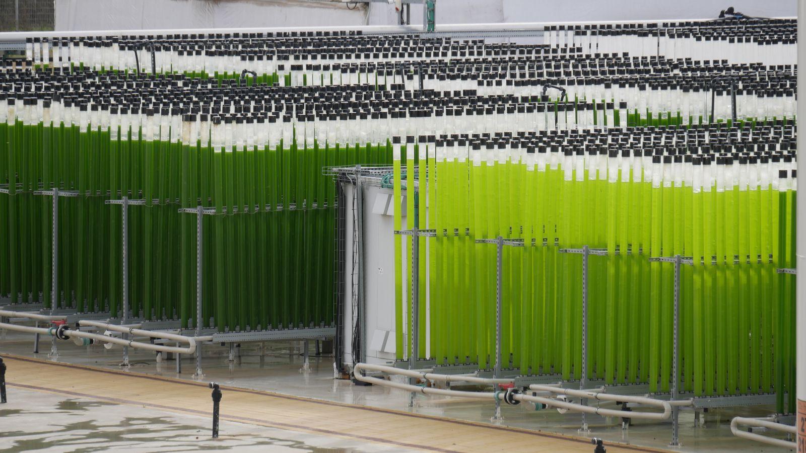 Eine Batterie an Algenbioreaktoren steht aufgereiht auf einem regennassen Hof vor einem großen weißen Zelt.