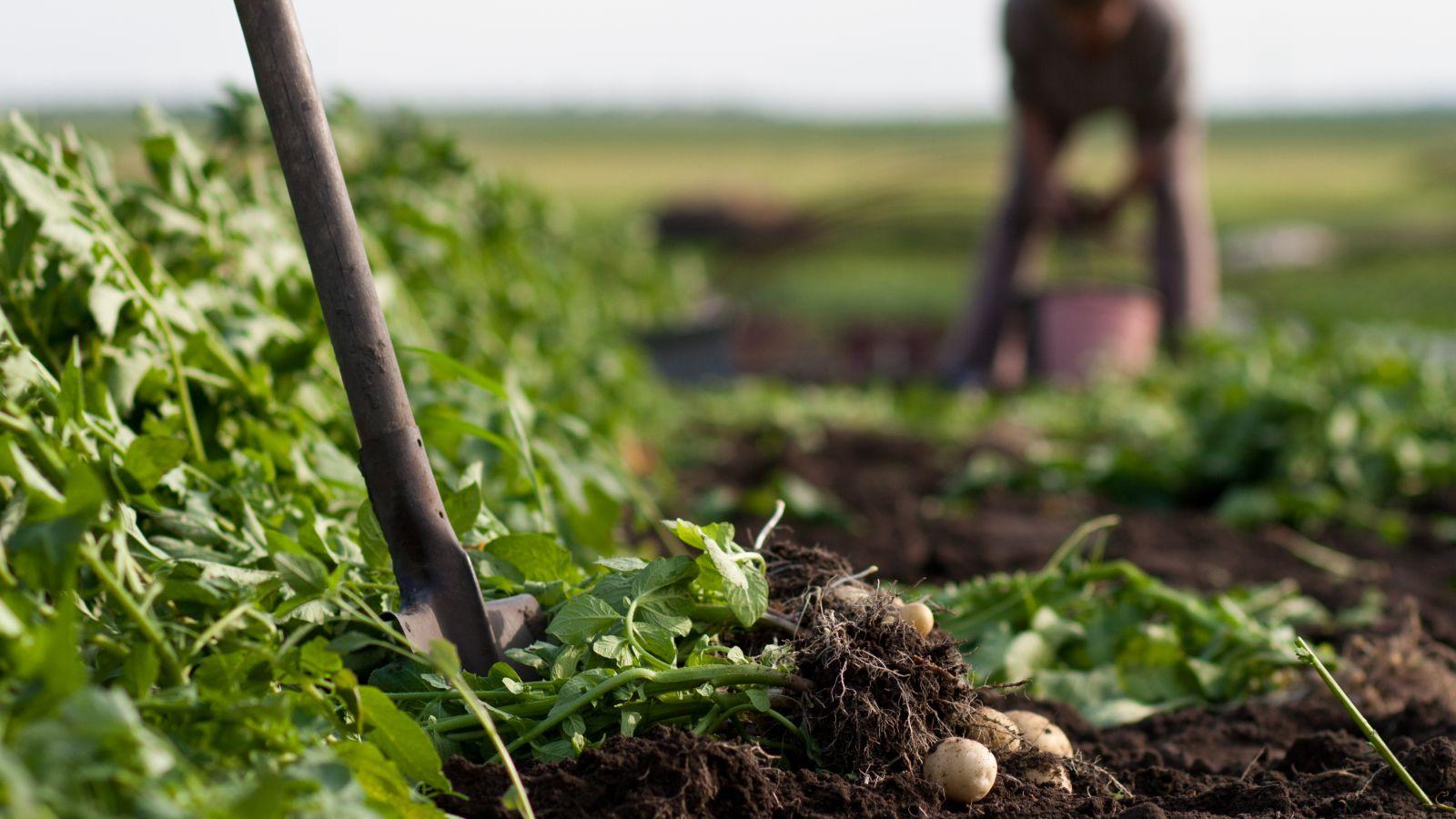 Arbeit auf Kartoffelacker