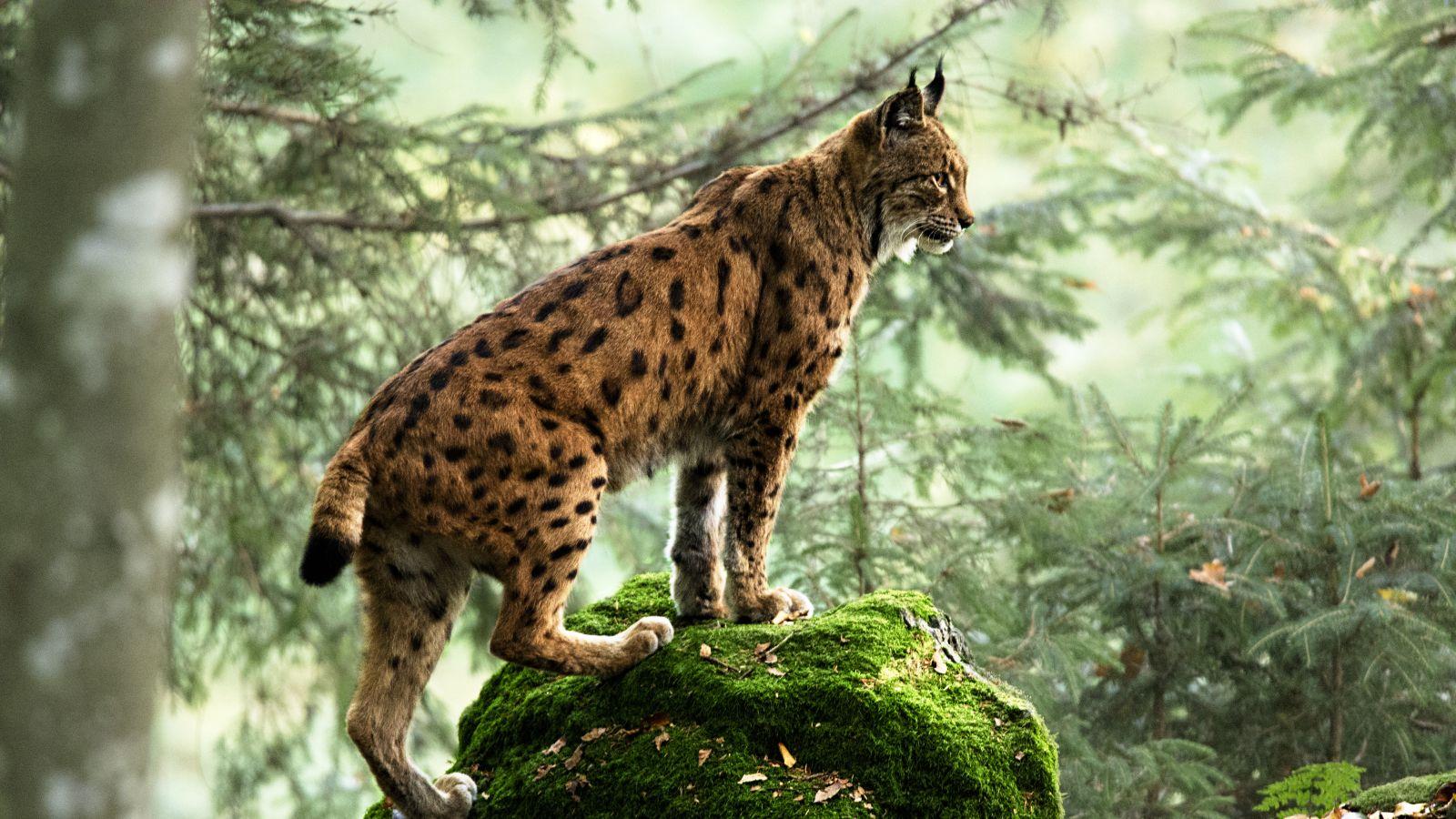 Eurasische Luchs auf Stein stehend im Wald